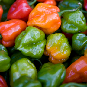 Habanero peppers j c tropicals What to do with habanero peppers from garden