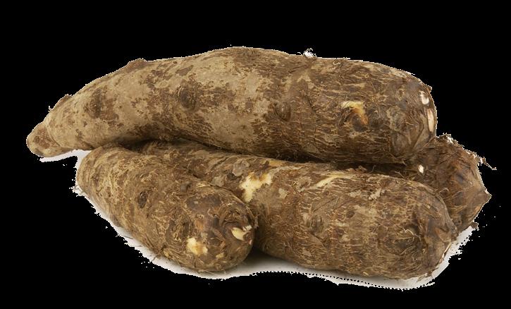 Tropical malanga blanca root